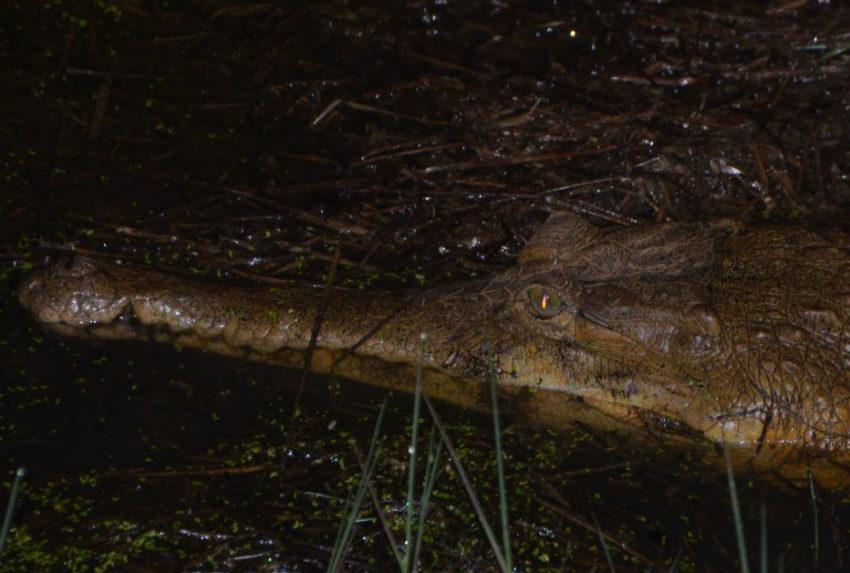 Crocodile Rikki Gumbs ZSL