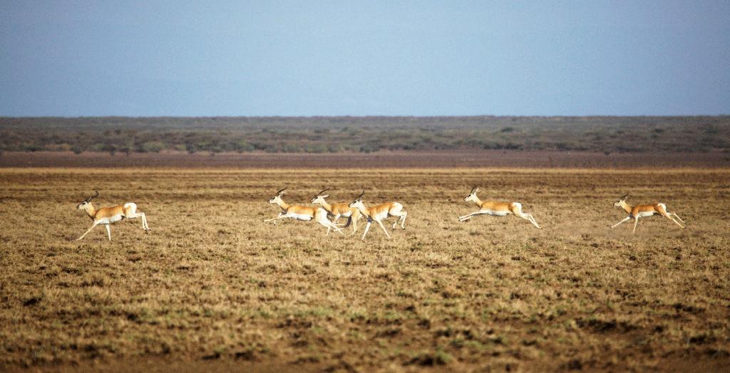 Soemmerings-Gazelles