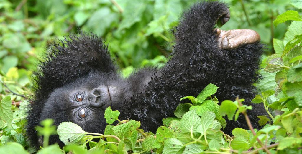 Baby-Gorilla-Uganda