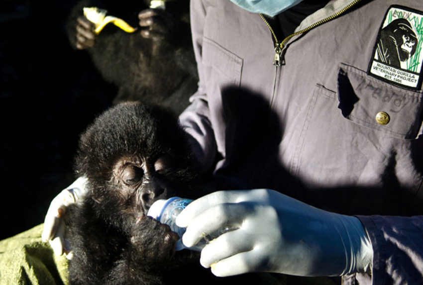 Dr.-Eddy-with-Orphan-Grauers-Gorillas