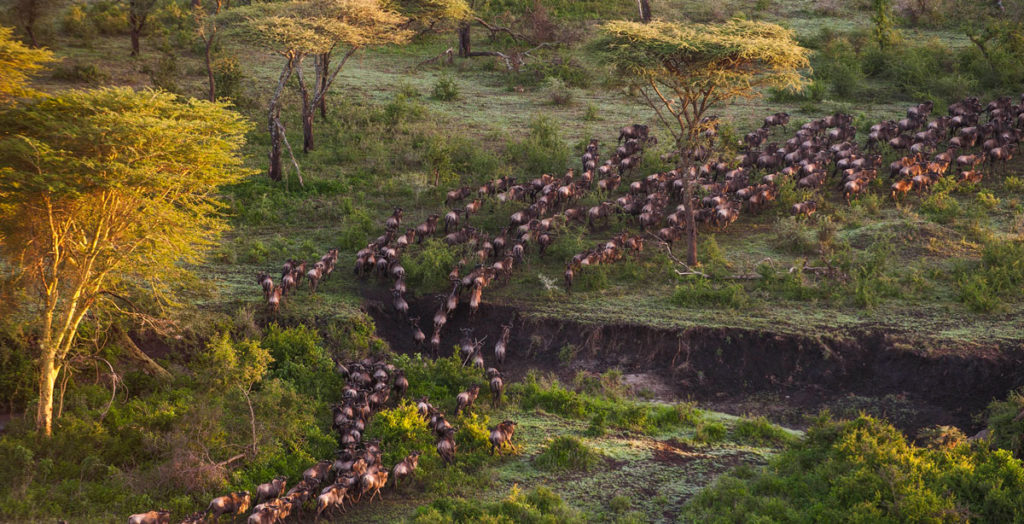 Mwiba-Lodge-Migration-Wildebeest