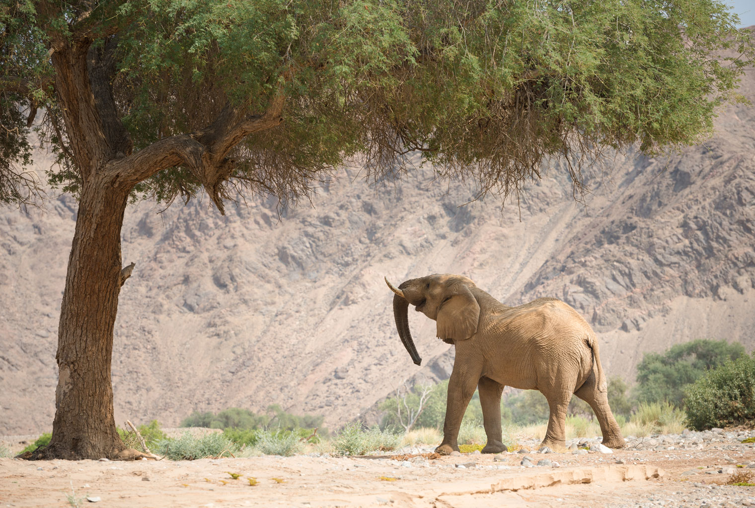 Hoanib-Valley-Camp-Namibia-Kaokoland-Desert-Adapted-Elephant