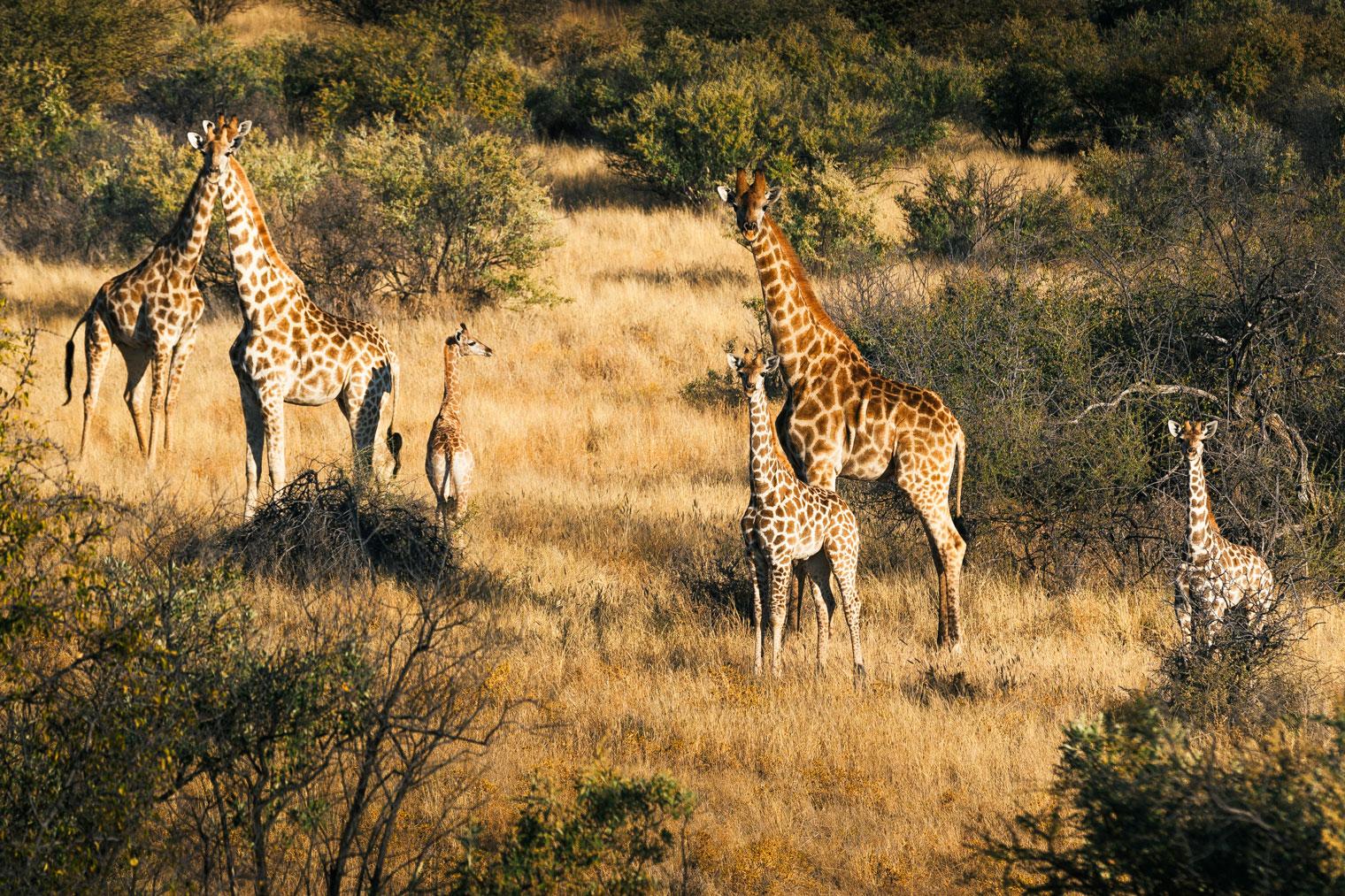 Namibia-Omaanda-Giraffes