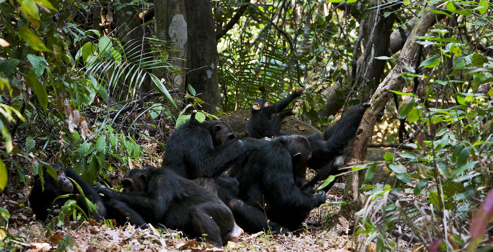 Tanzania-Chimp-Nest-Grooming