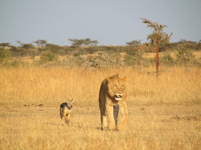 Jackal and Lion