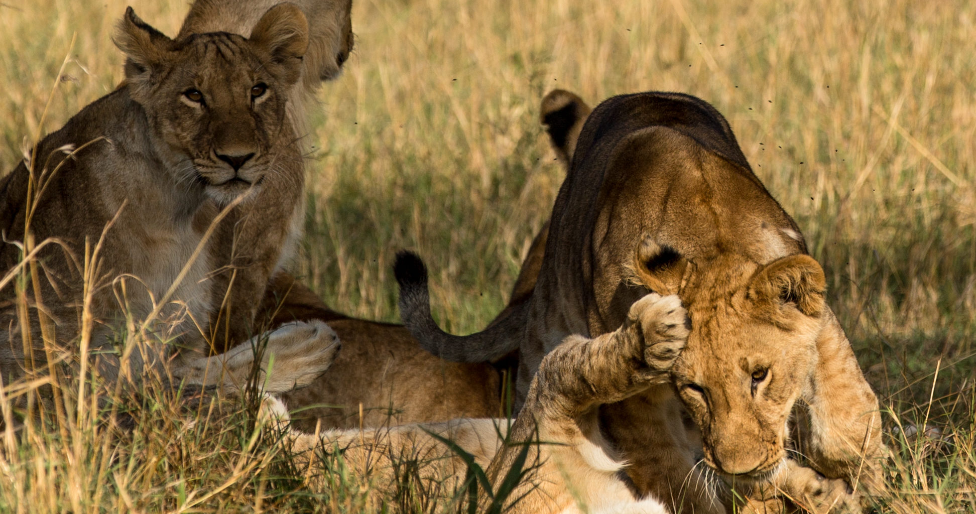 Kenya-Simon Morris-Lion-Day