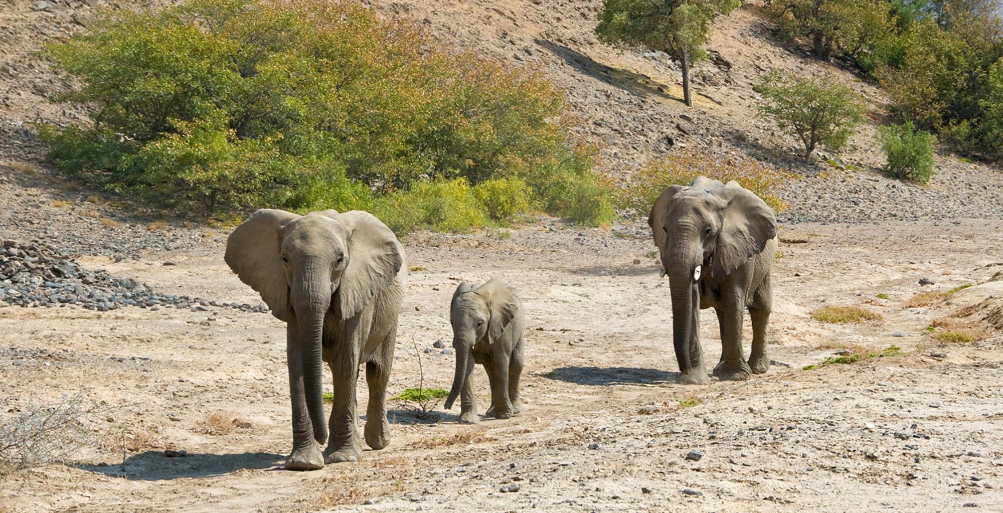 Namibia-Tracks-and-Trails-Etosha-Elephants