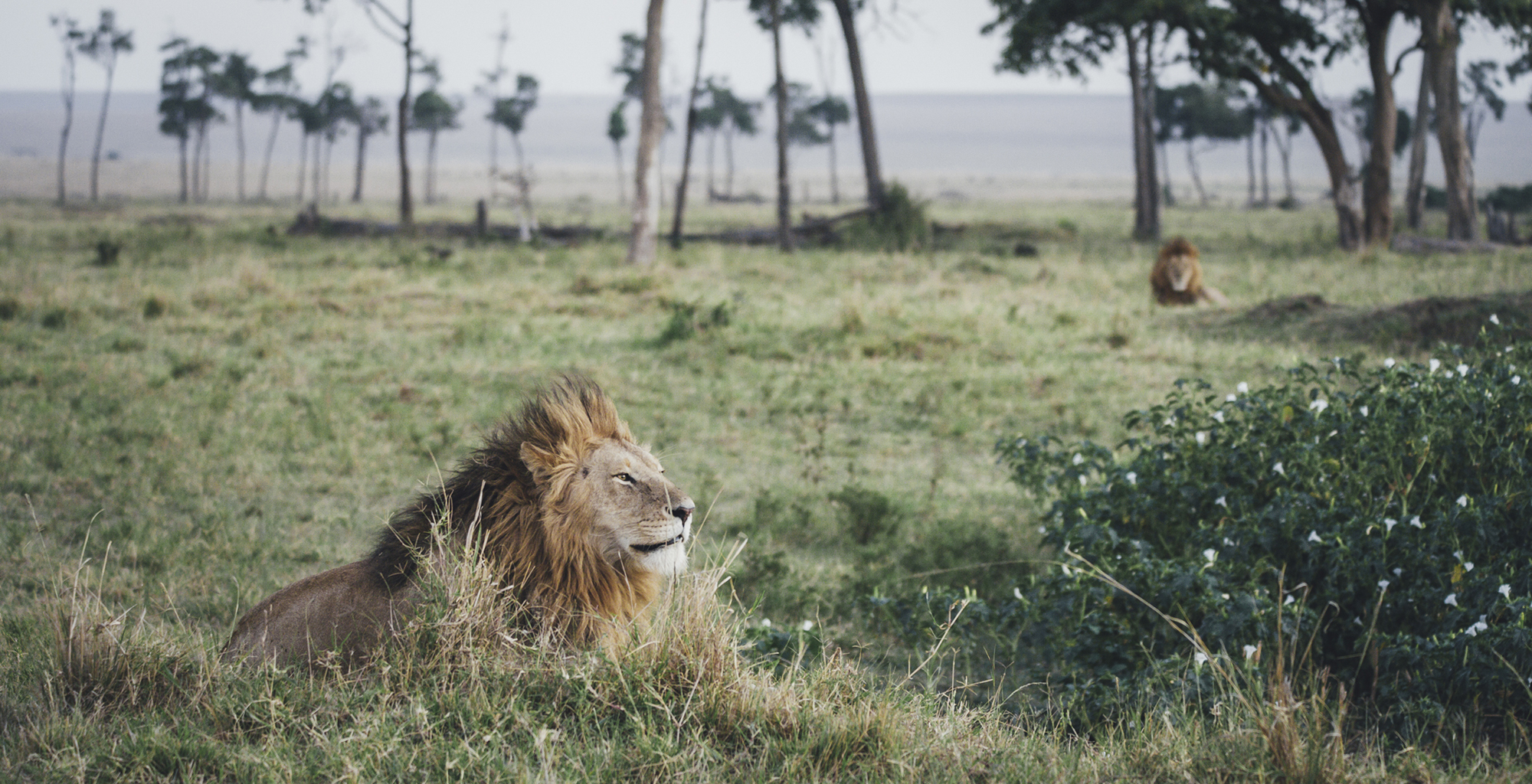 Kenya-Tangulia-Mara-Lion