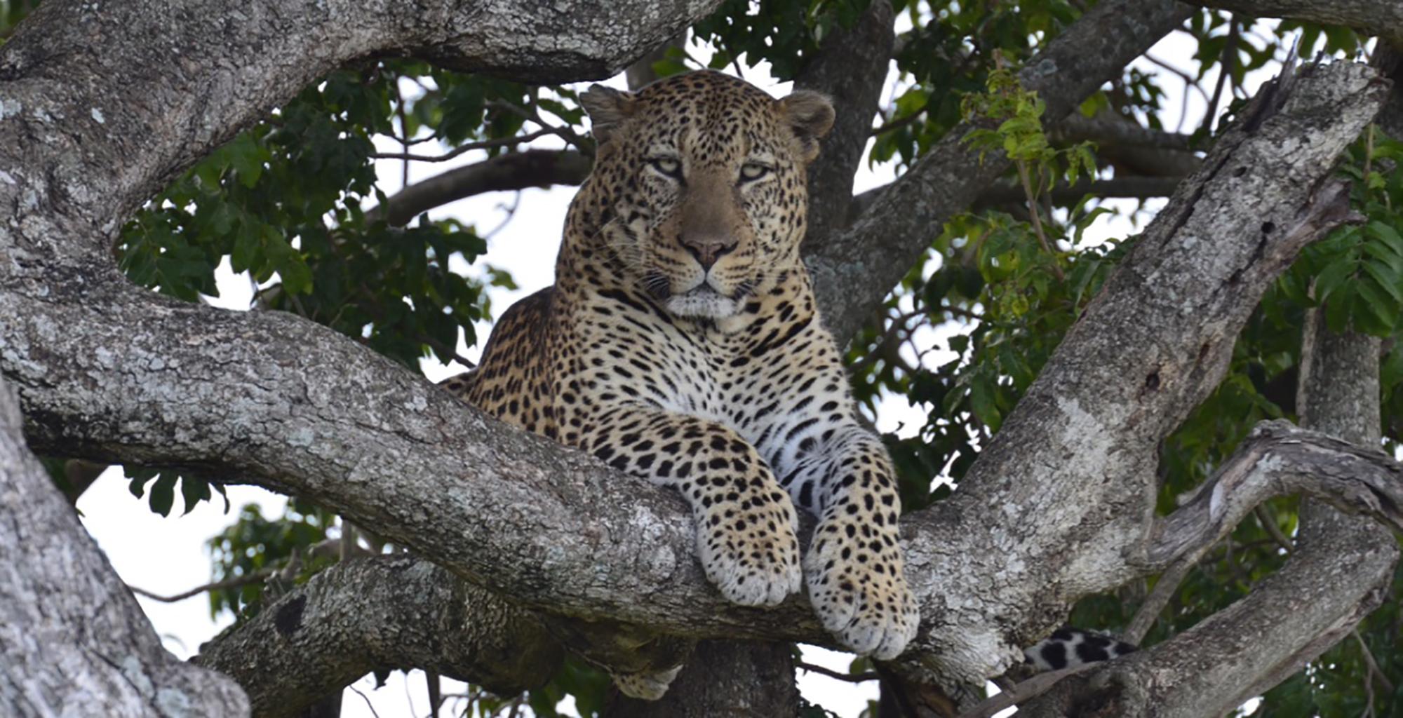 Kenya-Tangulia-Mara-Leopard