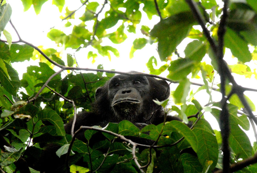 Greystoke-Mahale-chimp-in-tree---Nomad-Tanzania