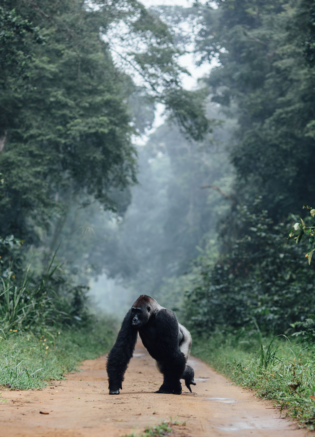 Western-Lowland-Gorilla-walking-across-the-only-road-through-the-park