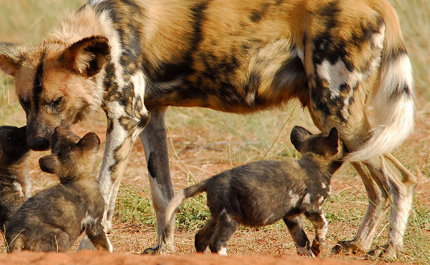 Wild dog in Tswalu, South Africa