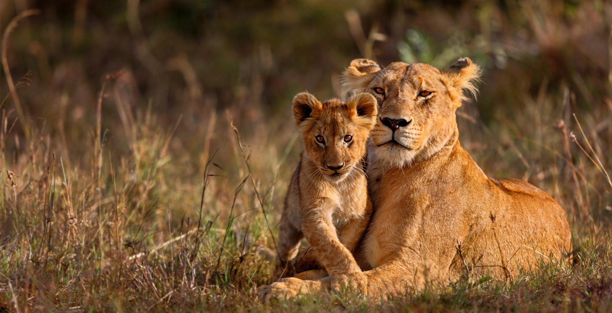 Zimbabwe-andBeyond-Matetsi-River-Lodge-Wildlife-Lion