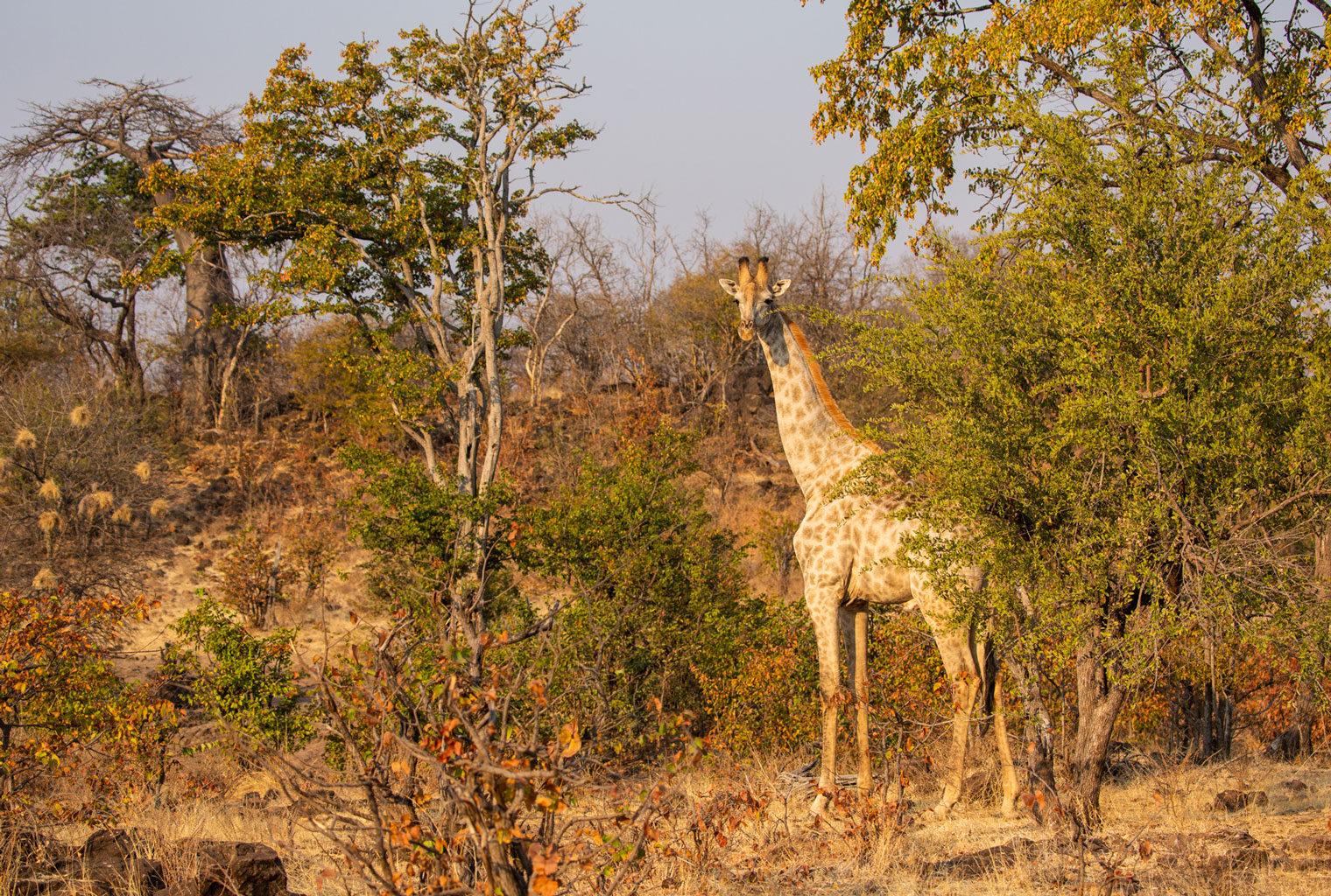 GPZimbabwe-MpalaJena-WildlifeGiraffe