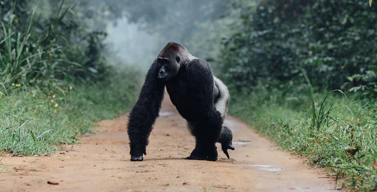Republic-of-Congo-Wildlife-Gorilla