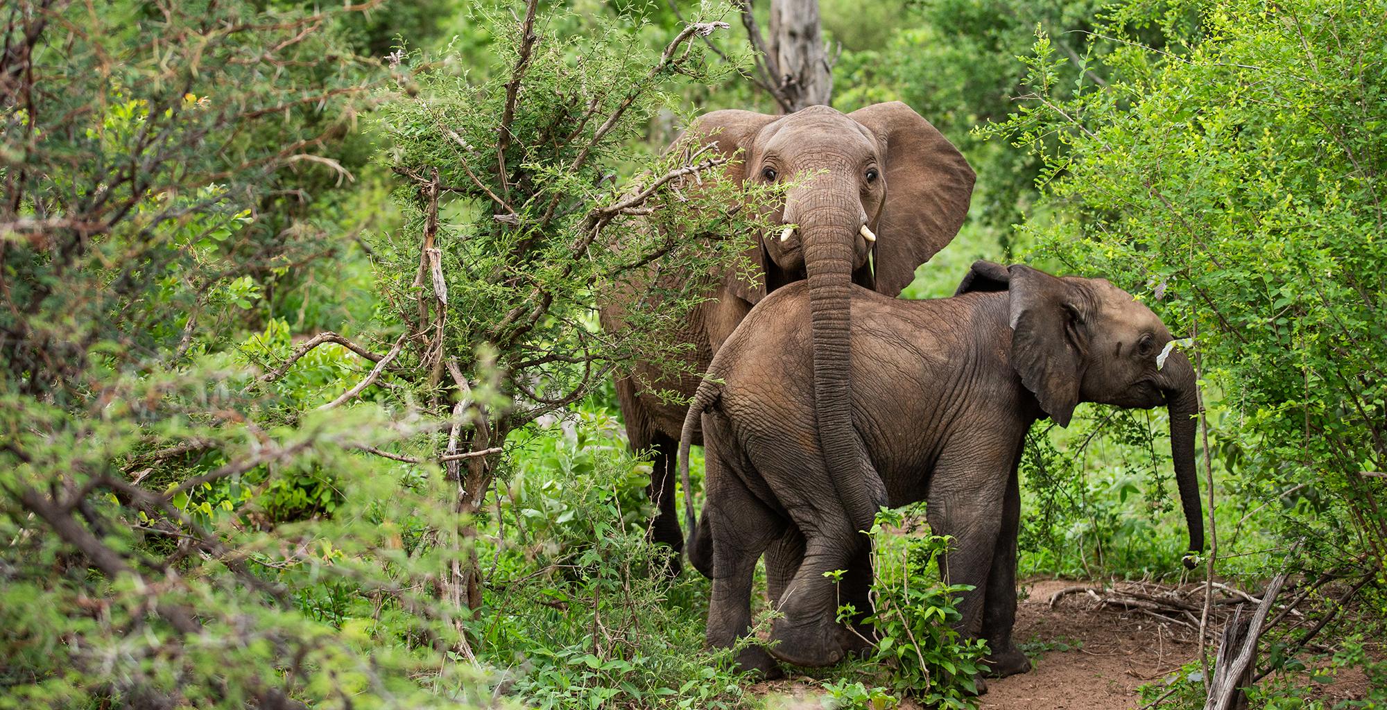 Zimbabwe-Mpala-Jena-Wildlife-Elephant