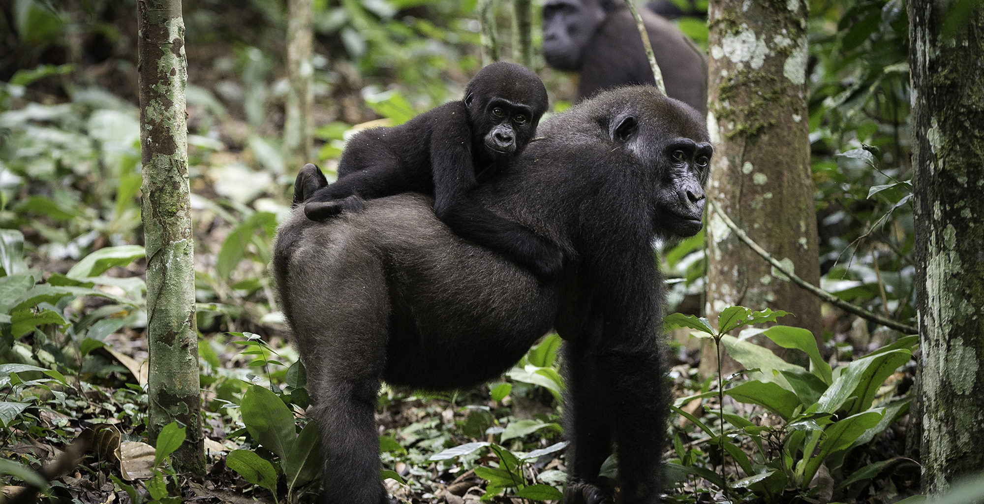 Republic-of-Congo-Ngaga-Camp-Gorilla