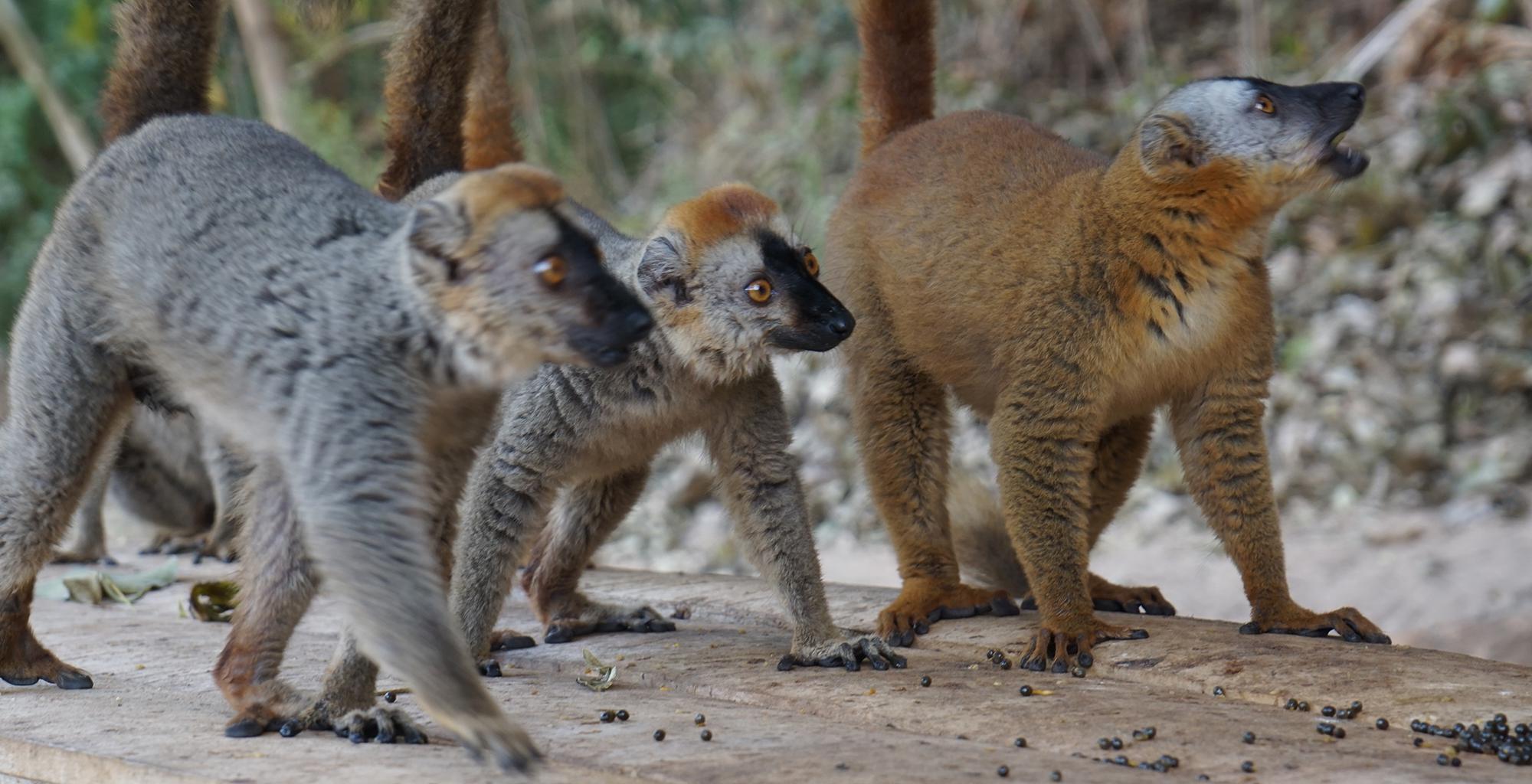 Madagascar-Tsirbihina-River-Journeys-Lemur