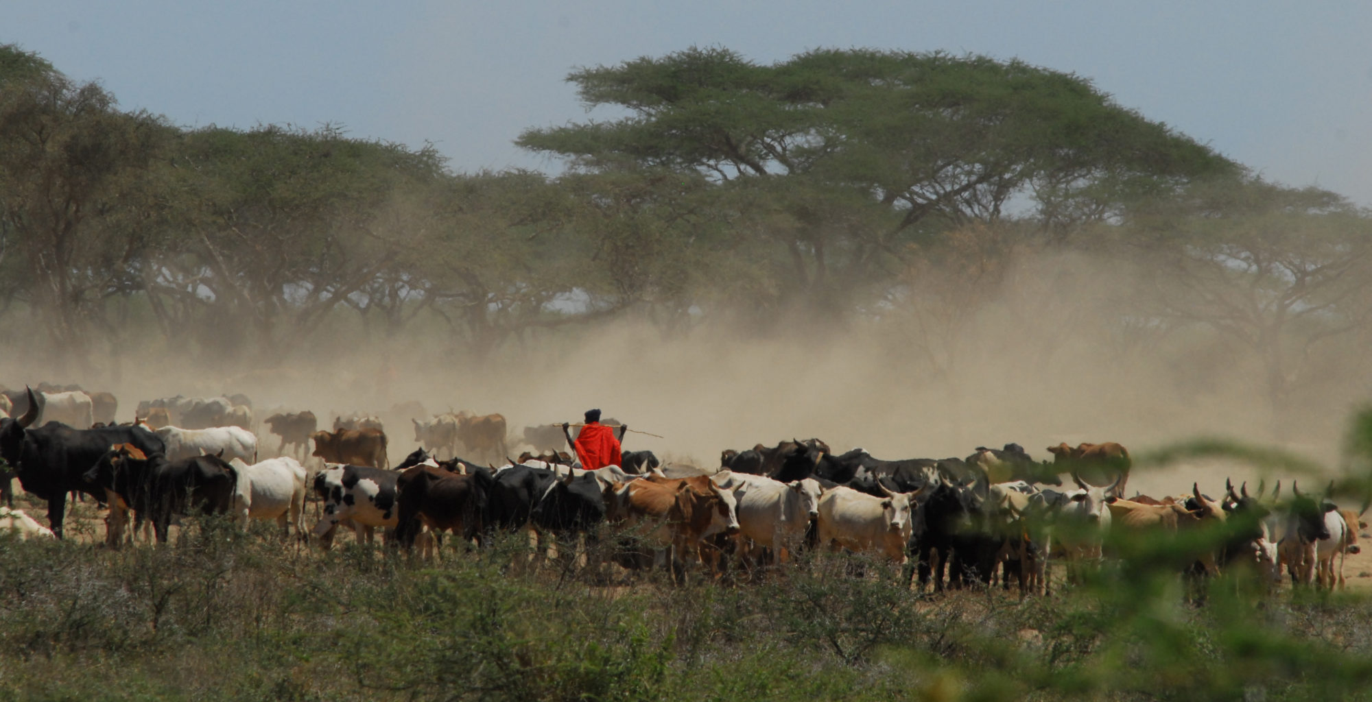 Tanzania-Yaeda-Valley-Cattle