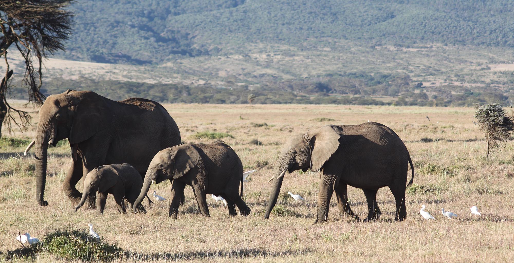 Kenya-Lewa-Safari-Camp-Elephants