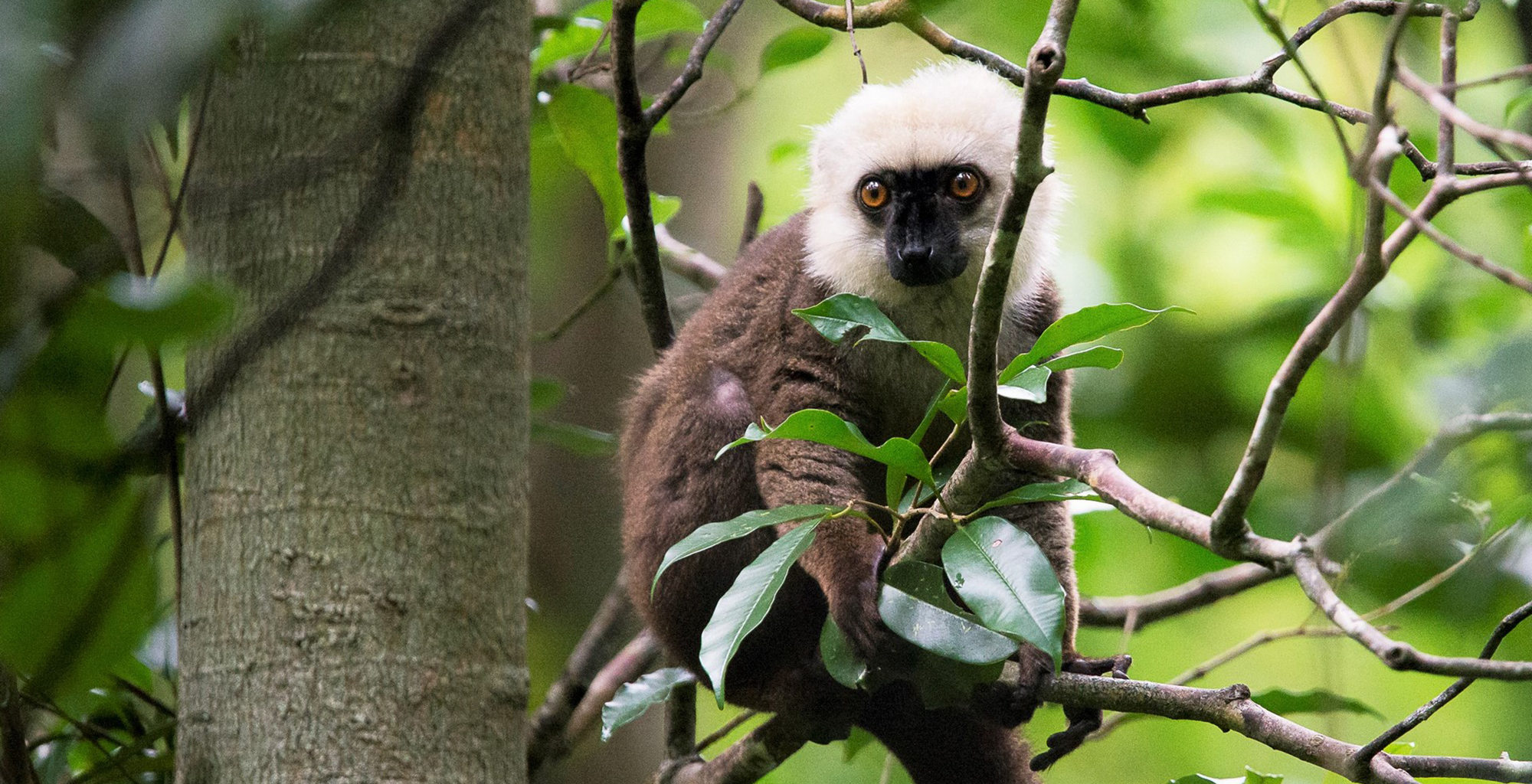 Madagascar-Masoala-Forest-Lodge-Lemur