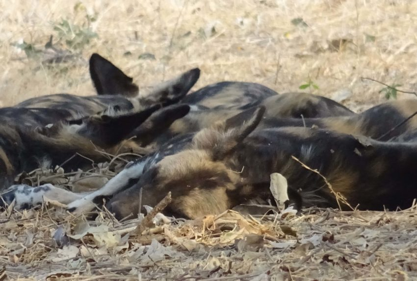Sleeping Wild Dog on the Zambezi