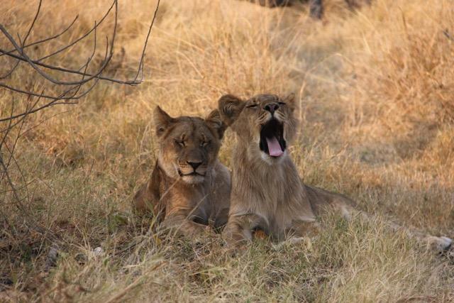 Erika De Leener Lions Yawning