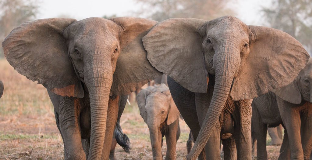 01-tuskless-elephant-elephantvoices-img_6734_processed