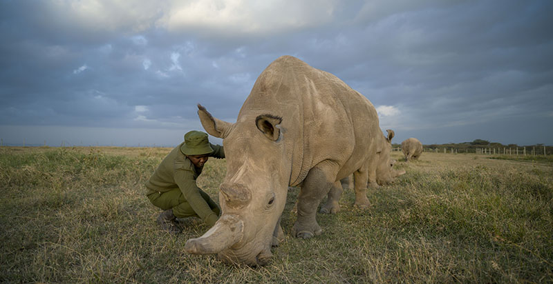 White-Rhino