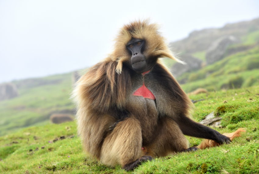 Gelada monkey in simiens
