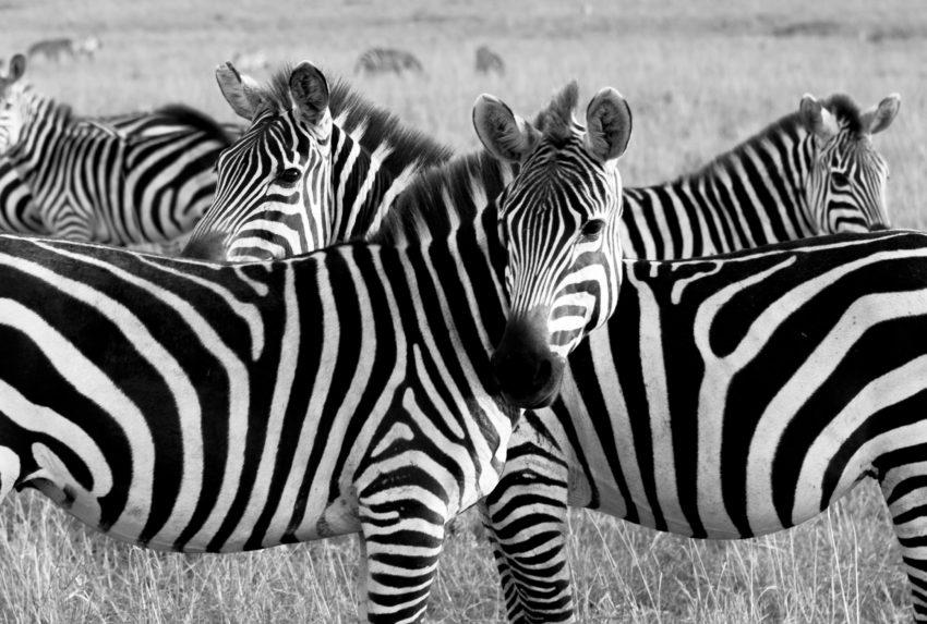 Maasai Mara- SimonJMorris-37