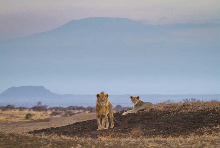 Kenya-Ol-Donyo-Wildlife-Lion