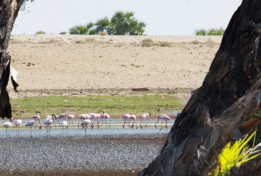 Kenya-Lobolo-Camp-Flamingoes