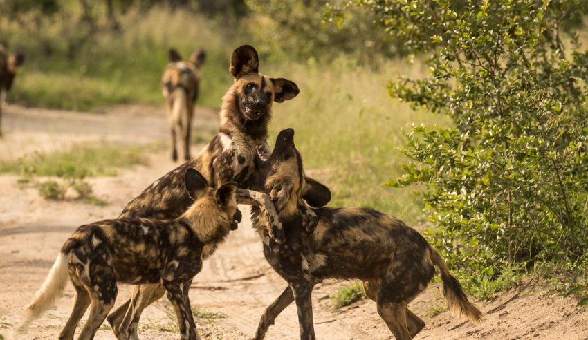 South-Africa-Jaci's-Sabi-House-Wild-Dog