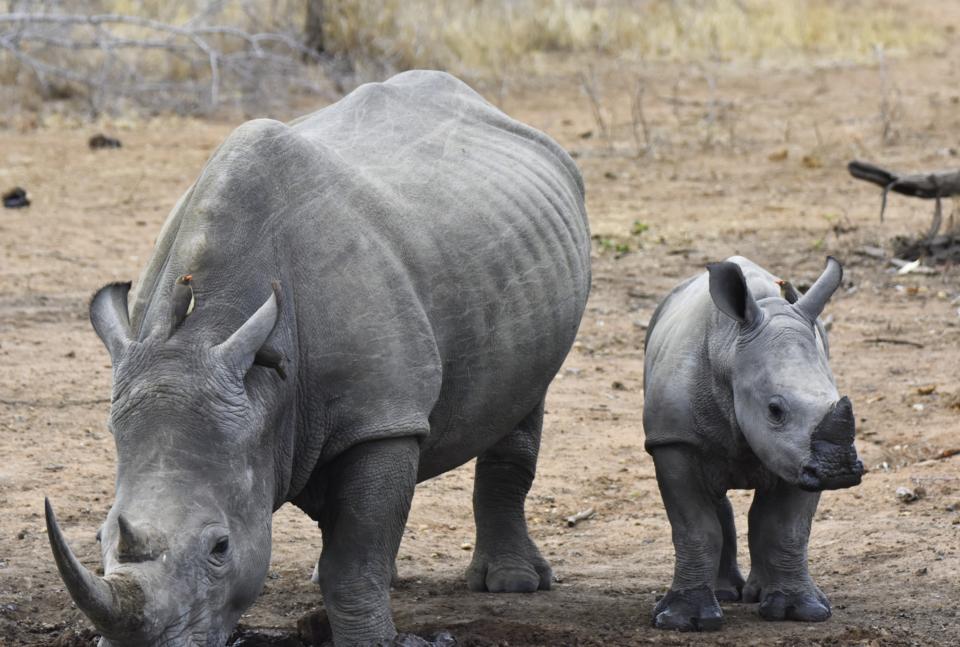 Jamie Lion Sands Rhino